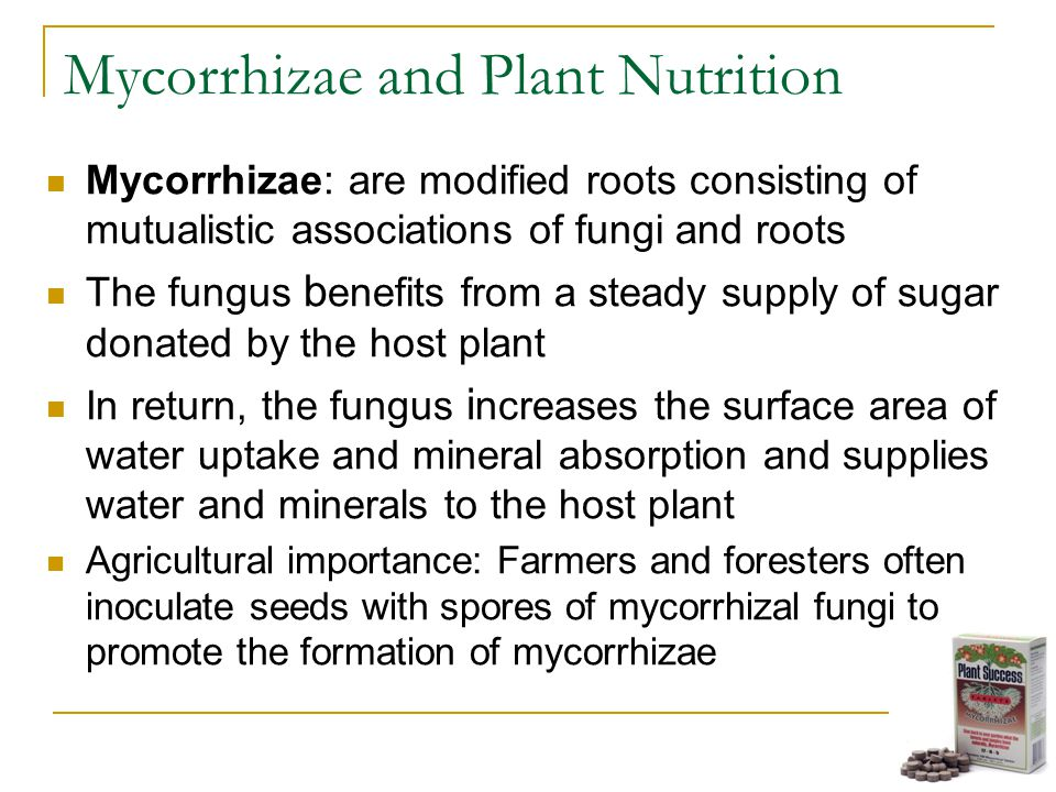 Mycorrhizae and Plant Nutrition Mycorrhizae: are modified roots consisting of mutualistic associations of fungi and roots The fungus b enefits from a steady supply of sugar donated by the host plant In return, the fungus i ncreases the surface area of water uptake and mineral absorption and supplies water and minerals to the host plant Agricultural importance: Farmers and foresters often inoculate seeds with spores of mycorrhizal fungi to promote the formation of mycorrhizae