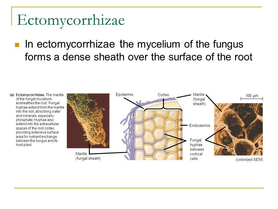 Ectomycorrhizae In ectomycorrhizae t he mycelium of the fungus forms a dense sheath over the surface of the root aEctomycorrhizae. The mantle of the f