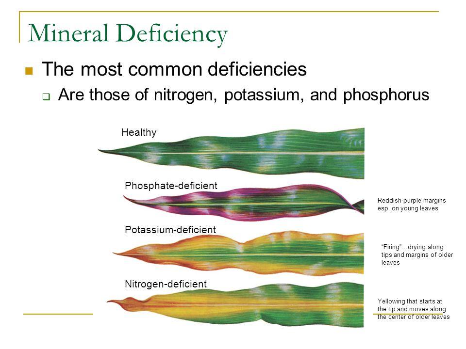 Mineral Deficiency The most common deficiencies  Are those of nitrogen, potassium, and phosphorus Phosphate-deficient Healthy Potassium-deficient Nitrogen-deficient Firing …drying along tips and margins of older leaves Reddish-purple margins esp.