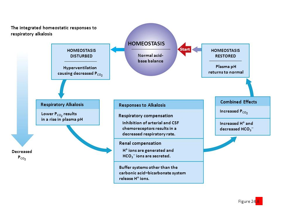 Figure 24.8 4 The integrated homeostatic responses to respiratory alkalosis Start Normal acid- base balance HOMEOSTASIS Decreased P CO 2 Lower P CO 2