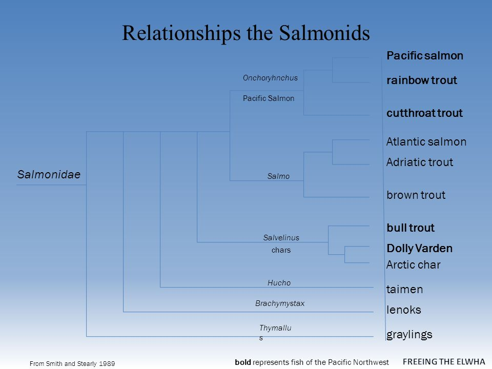 Relationships the Salmonids From Smith and Stearly 1989 graylings Salmonidae taimen lenoks Atlantic salmon Brachymystax Hucho Thymallu s brown trout Salmo Onchoryhnchus rainbow trout cutthroat trout Pacific salmon Adriatic trout Salvelinus Arctic char Dolly Varden bull trout Pacific Salmon chars bold represents fish of the Pacific Northwest