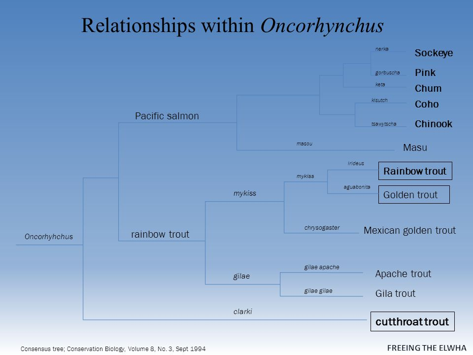 Relationships within Oncorhynchus Consensus tree; Conservation Biology, Volume 8, No.
