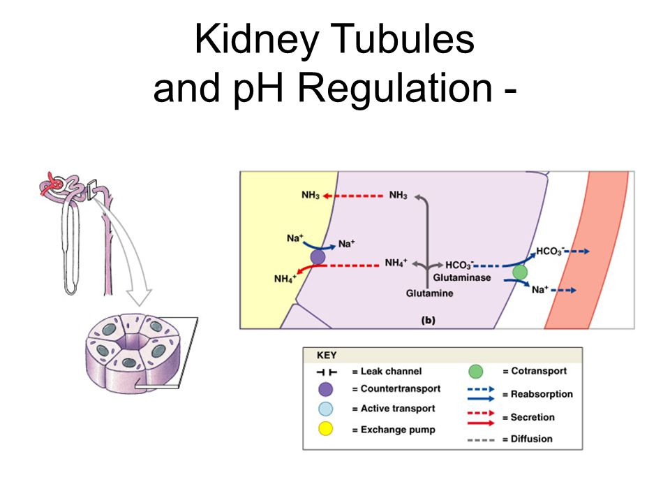 Kidney Tubules and pH Regulation - Figure 27–10b