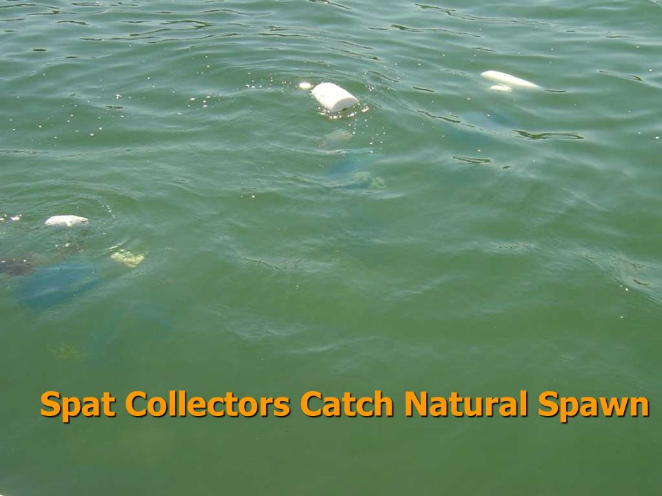 Spat Collectors Catch Natural Spawn