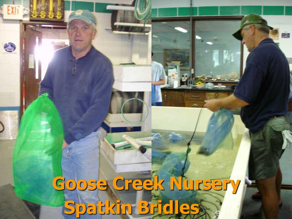 Spatkin Bridles Goose Creek Nursery