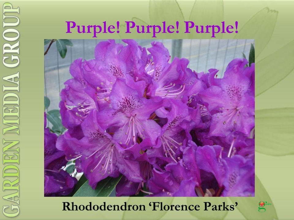 Purple! Purple! Purple! Rhododendron 'Florence Parks'