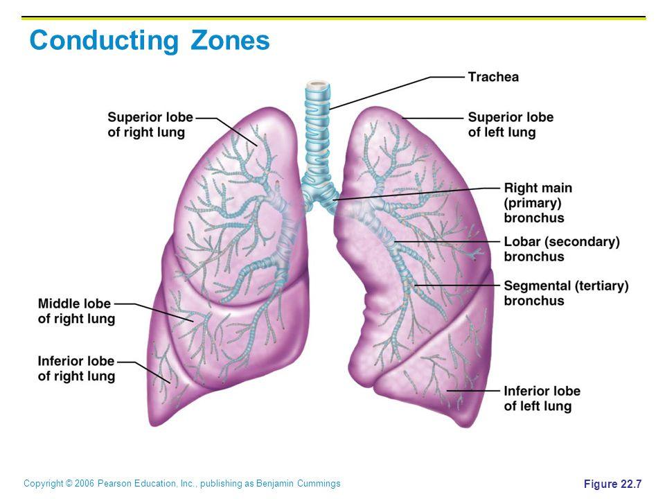 Copyright © 2006 Pearson Education, Inc., publishing as Benjamin Cummings Conducting Zones Figure 22.7