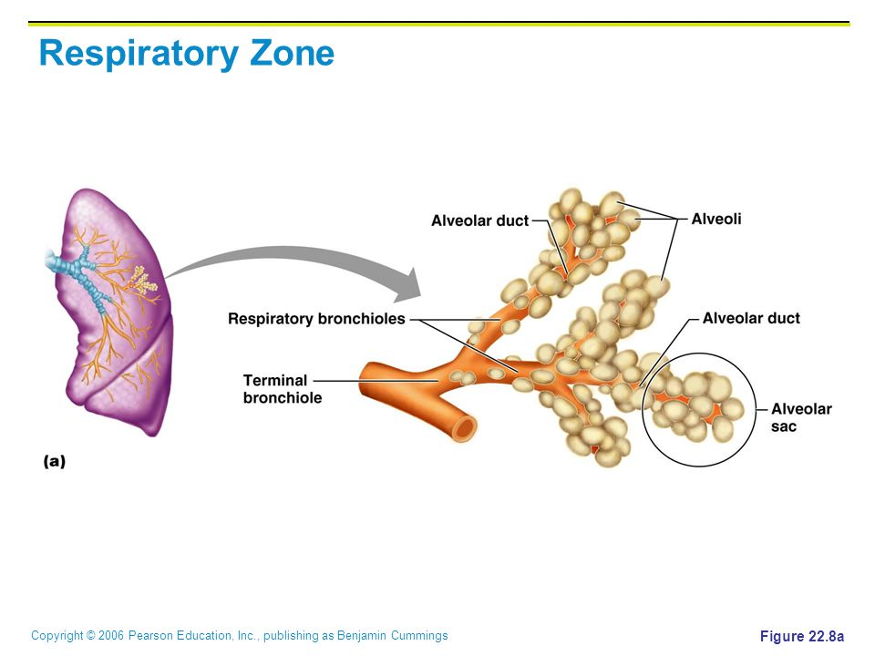 Copyright © 2006 Pearson Education, Inc., publishing as Benjamin Cummings Respiratory Zone Figure 22.8a