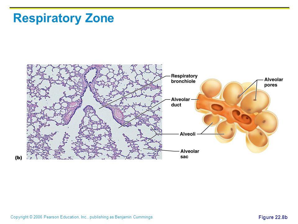 Copyright © 2006 Pearson Education, Inc., publishing as Benjamin Cummings Respiratory Zone Figure 22.8b