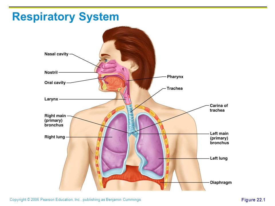 Copyright © 2006 Pearson Education, Inc., publishing as Benjamin Cummings Respiratory System Figure 22.1