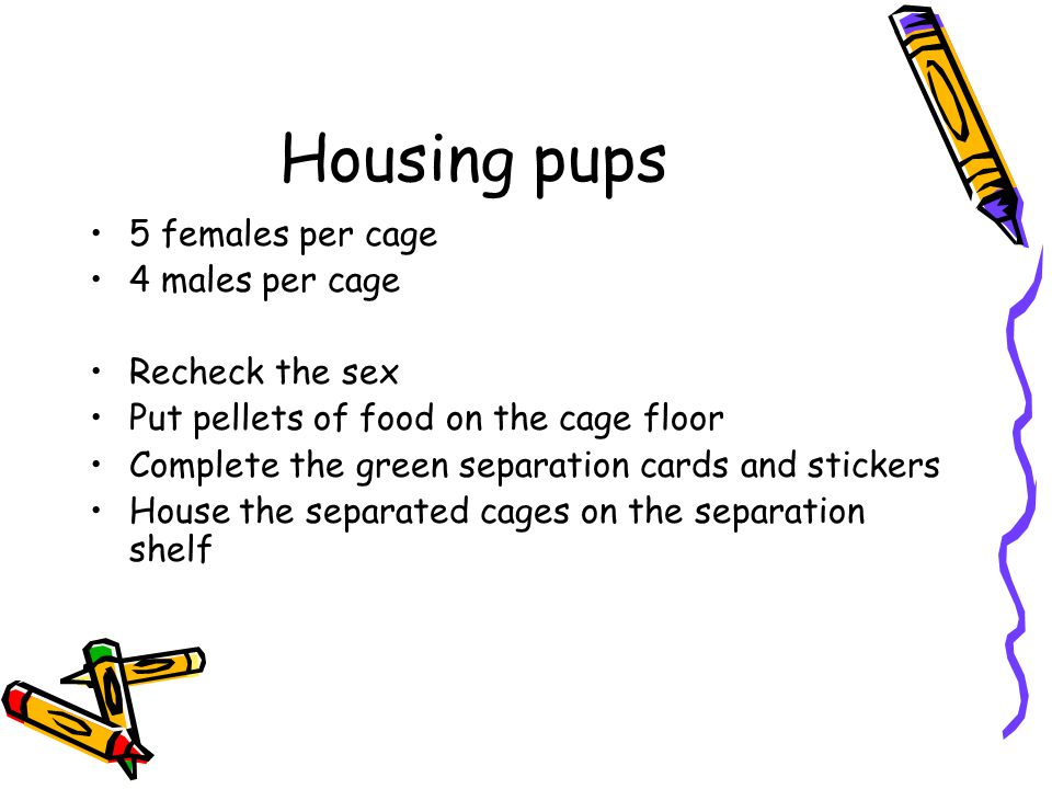 Housing pups 5 females per cage 4 males per cage Recheck the sex Put pellets of food on the cage floor Complete the green separation cards and sticker