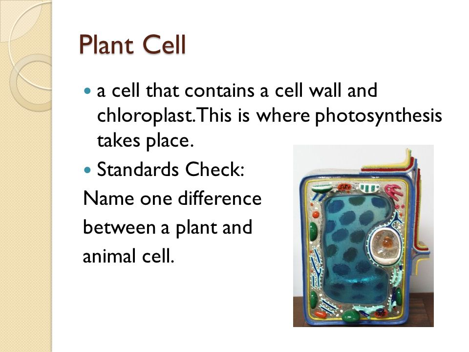 Plant Cell a cell that contains a cell wall and chloroplast.