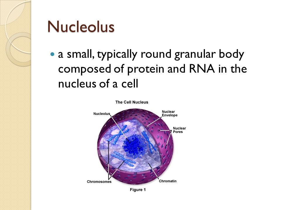 Nucleolus a small, typically round granular body composed of protein and RNA in the nucleus of a cell