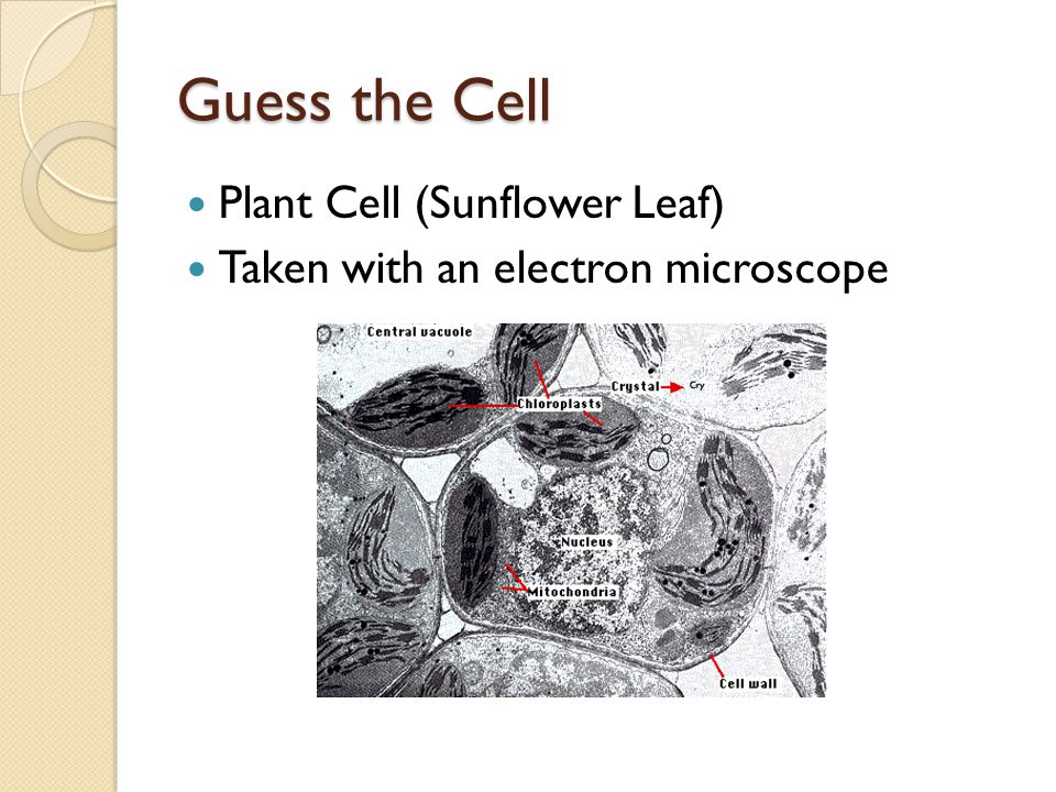 Guess the Cell Plant Cell (Sunflower Leaf) Taken with an electron microscope