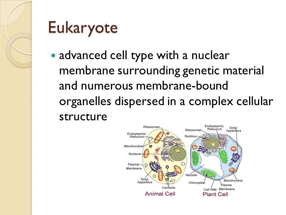 Eukaryote advanced cell type with a nuclear membrane surrounding genetic material and numerous membrane-bound organelles dispersed in a complex cellular structure