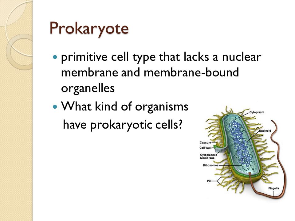 Prokaryote primitive cell type that lacks a nuclear membrane and membrane-bound organelles What kind of organisms have prokaryotic cells