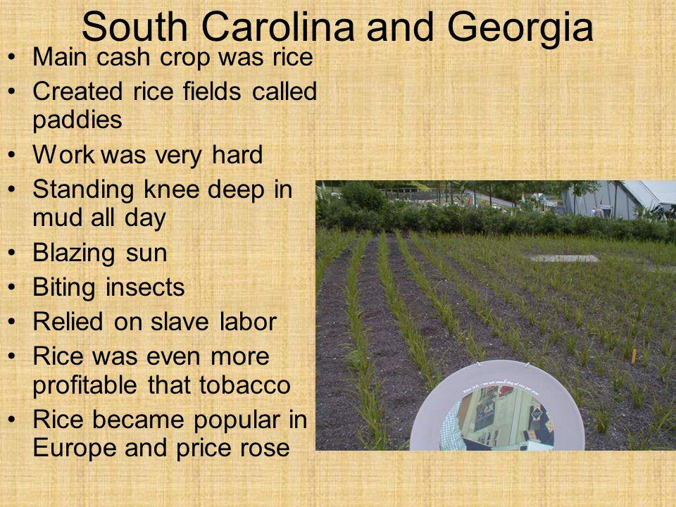 South Carolina and Georgia Main cash crop was rice Created rice fields called paddies Work was very hard Standing knee deep in mud all day Blazing sun