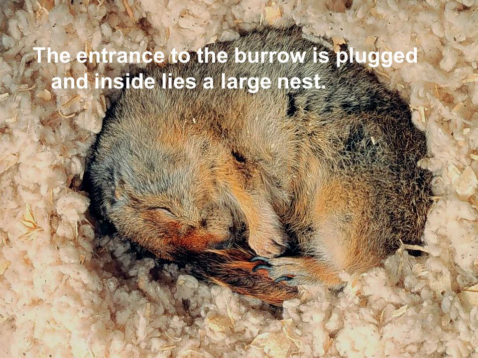 The entrance to the burrow is plugged and inside lies a large nest.