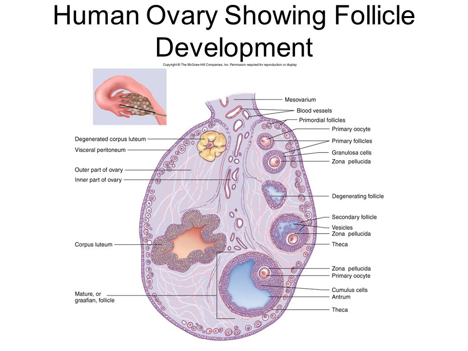 Human Ovary Showing Follicle Development