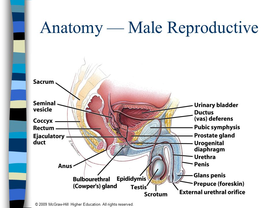 © 2009 McGraw-Hill Higher Education. All rights reserved. Anatomy — Male Reproductive