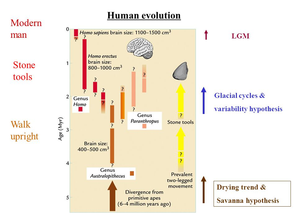 Human evolution Walk upright Stone tools Modern man Glacial cycles & variability hypothesis LGM Drying trend & Savanna hypothesis