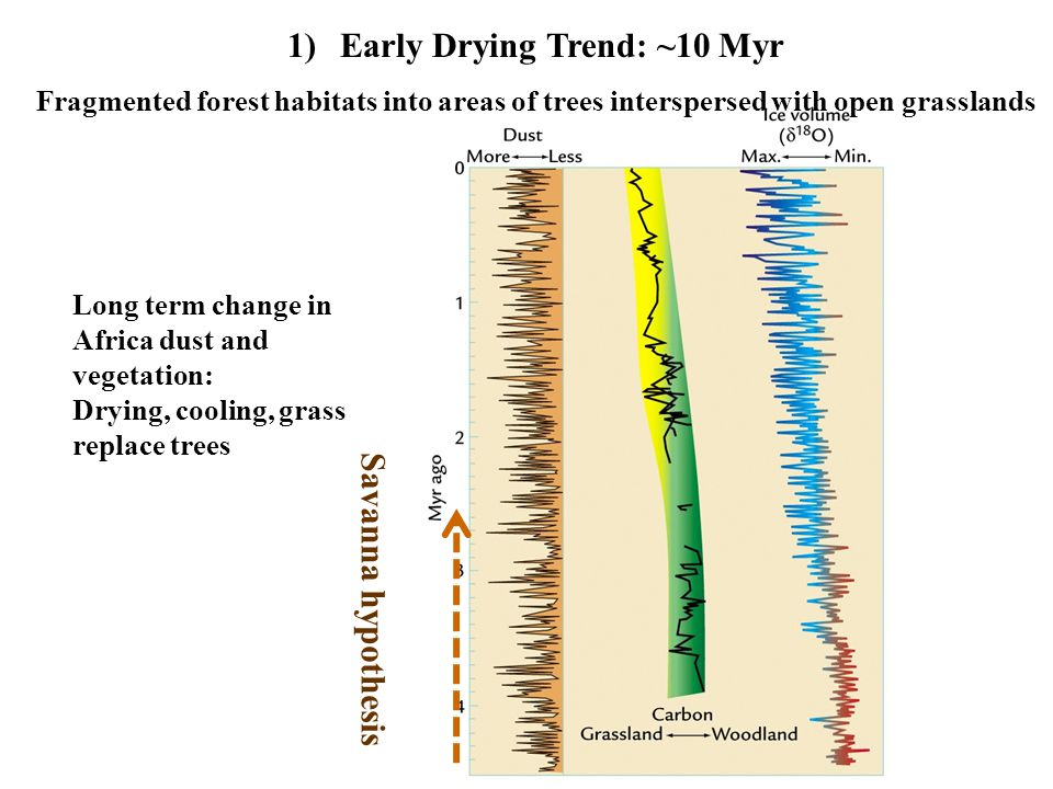 1)Early Drying Trend: ~10 Myr Fragmented forest habitats into areas of trees interspersed with open grasslands Long term change in Africa dust and vegetation: Drying, cooling, grass replace trees Savanna hypothesis