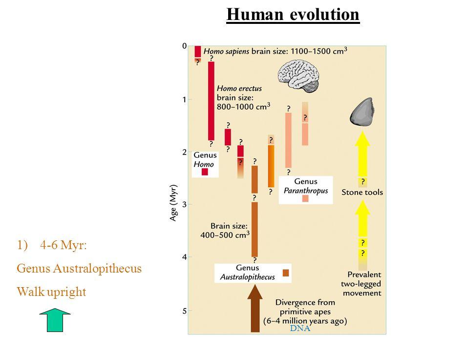 1)4-6 Myr: Genus Australopithecus Walk upright DNA Human evolution