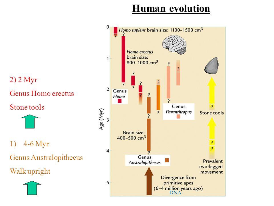 1)4-6 Myr: Genus Australopithecus Walk upright 2) 2 Myr Genus Homo erectus Stone tools DNA Human evolution