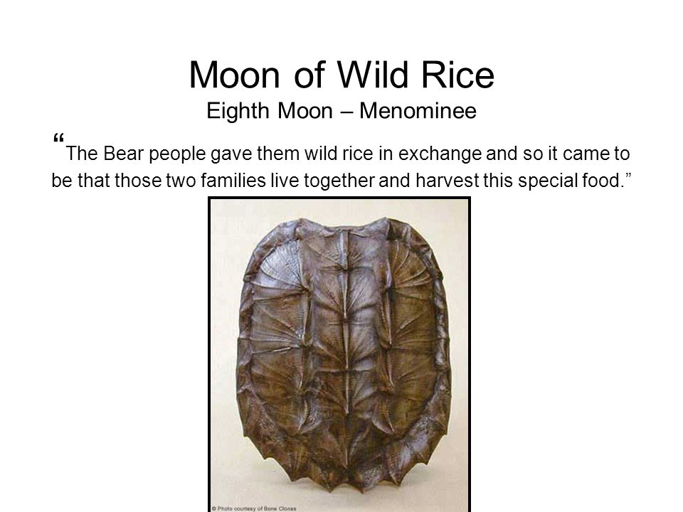 Moon of Wild Rice Eighth Moon – Menominee The Bear people gave them wild rice in exchange and so it came to be that those two families live together and harvest this special food.