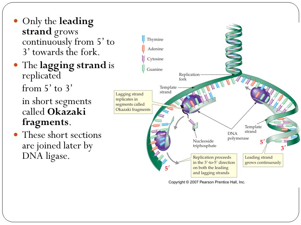 Only the leading strand grows continuously from 5' to 3' towards the fork. The lagging strand is replicated from 5' to 3' in short segments called Oka