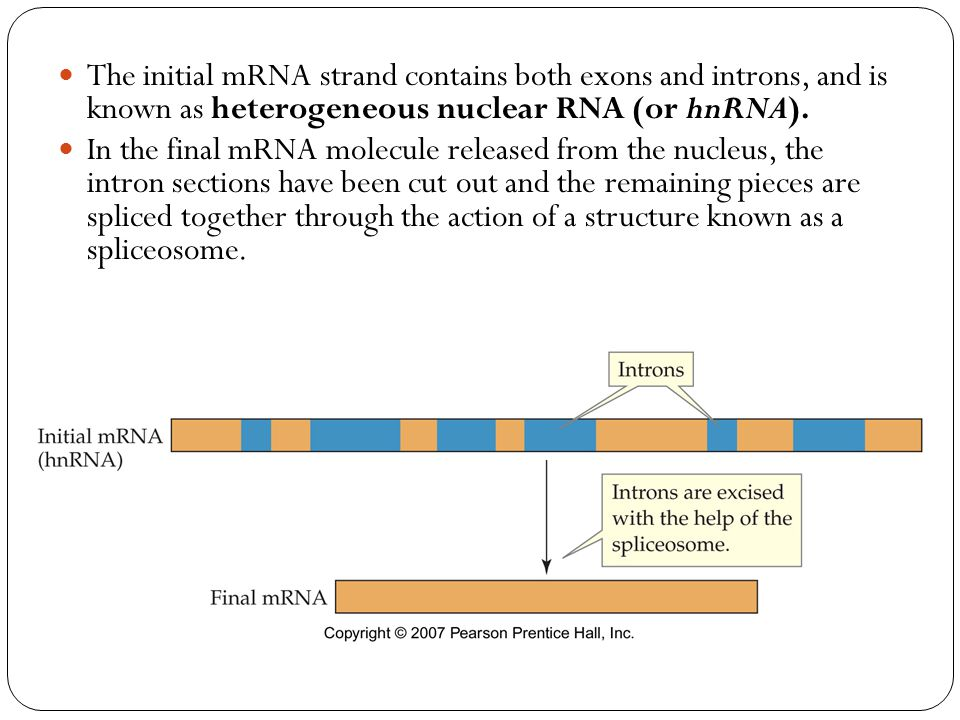 The initial mRNA strand contains both exons and introns, and is known as heterogeneous nuclear RNA (or hnRNA). In the final mRNA molecule released fro
