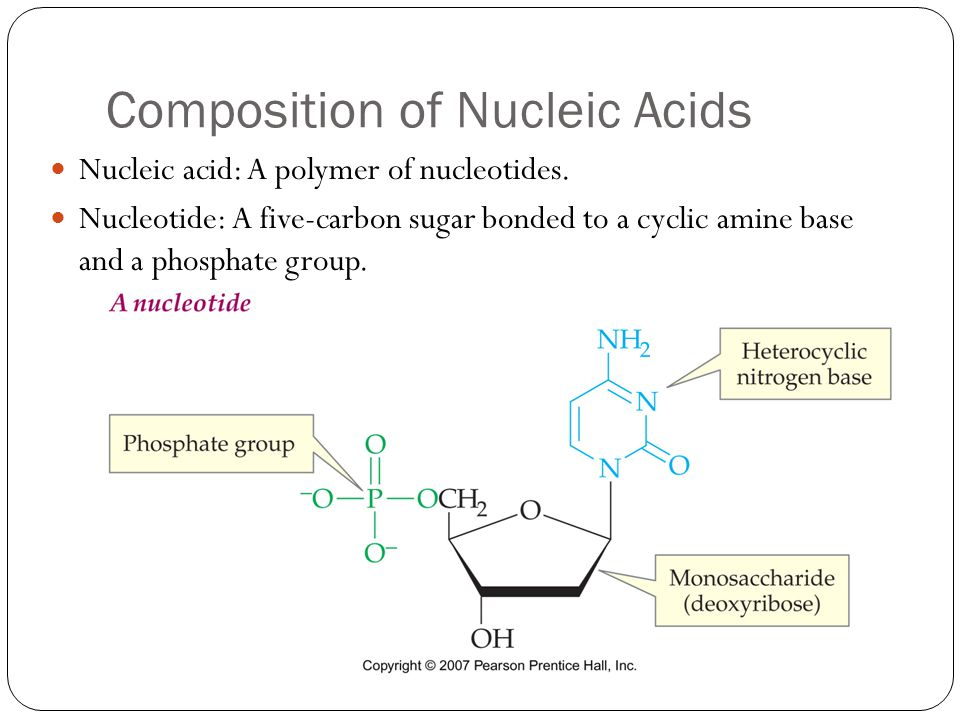 Composition of Nucleic Acids Nucleic acid: A polymer of nucleotides. Nucleotide: A five-carbon sugar bonded to a cyclic amine base and a phosphate gro