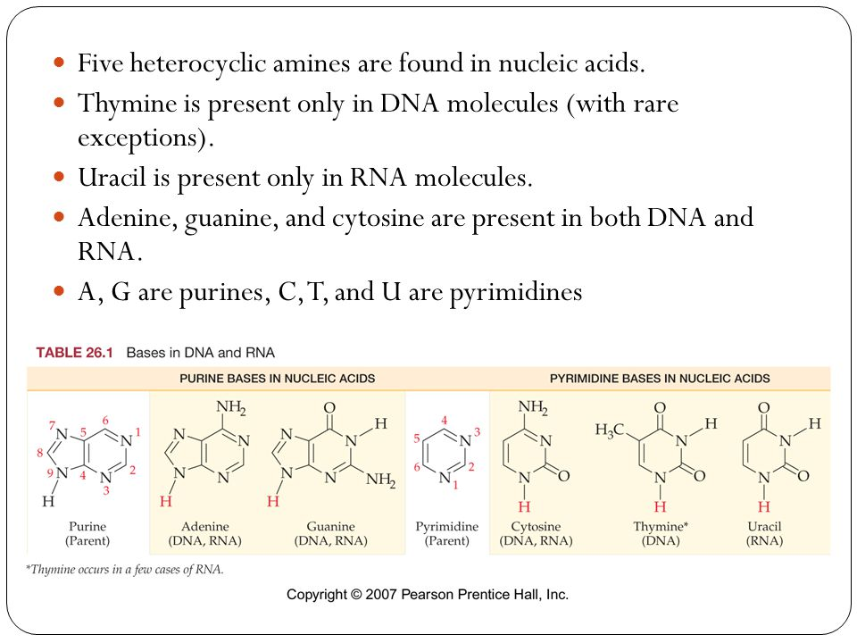 Five heterocyclic amines are found in nucleic acids. Thymine is present only in DNA molecules (with rare exceptions). Uracil is present only in RNA mo