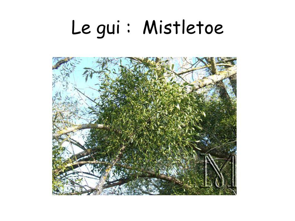 Le gui : Mistletoe