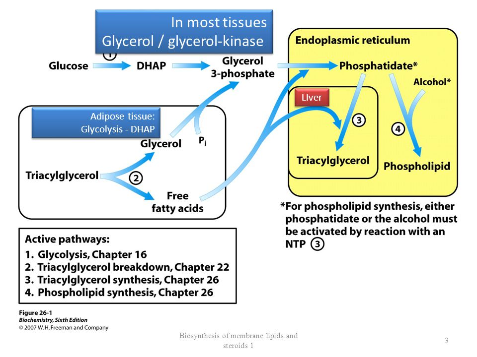 SYNTHESIS of MEMBRANE LIPIDS and TRIGLYCERIDS Phosphatydic acid is a COMMON INTERMEDIER of biosynthesis of phospholipids Neutral fats ACYL-GLYCEROL-SYNTHETASE COMPLEX ENDOPLASMIC RETICULUM Phosphatase Diacylglycerol acyltransferase Biosynthesis of membrane lipids and steroids 1 4