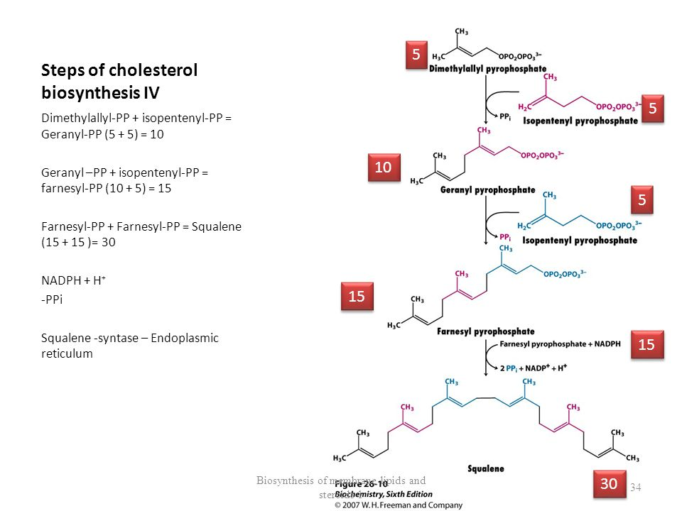 Steps of cholesterol biosynthesis IV Dimethylallyl-PP + isopentenyl-PP = Geranyl-PP (5 + 5) = 10 Geranyl –PP + isopentenyl-PP = farnesyl-PP (10 + 5) = 15 Farnesyl-PP + Farnesyl-PP = Squalene (15 + 15 )= 30 NADPH + H + - PPi Squalene -syntase – Endoplasmic reticulum Biosynthesis of membrane lipids and steroids 1 34 5 5 5 5 10 15 5 5 30 15