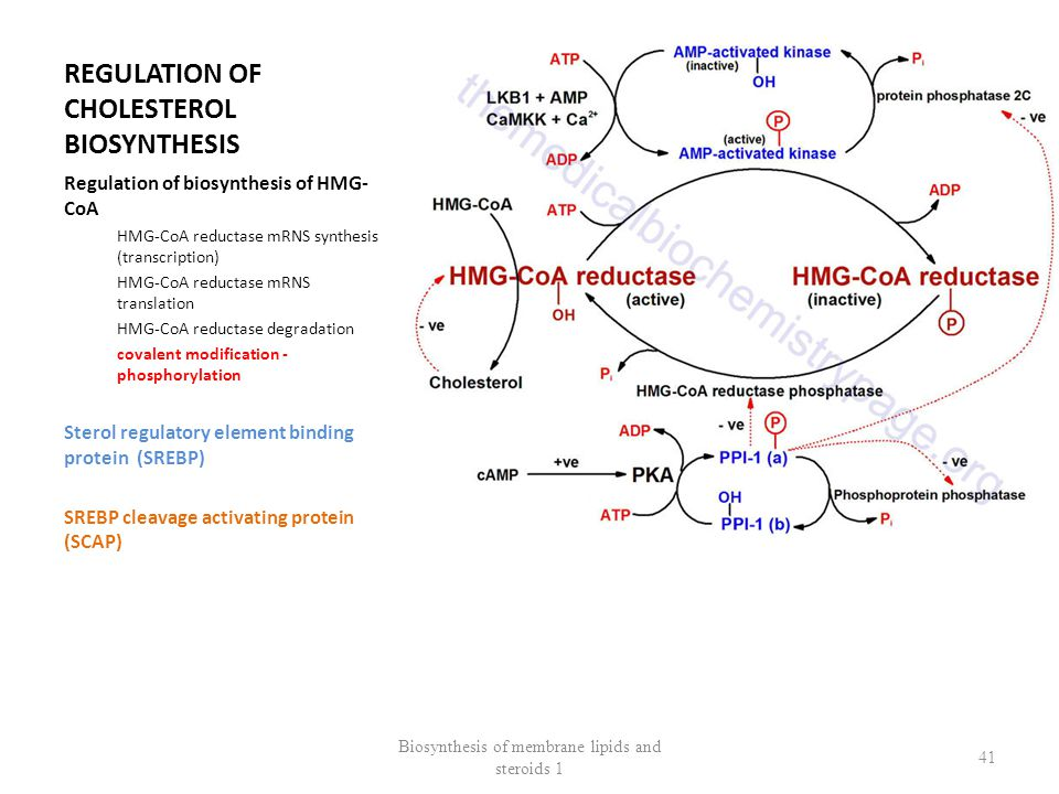 REGULATION OF CHOLESTEROL BIOSYNTHESIS Regulation of biosynthesis of HMG- CoA HMG-CoA reductase mRNS synthesis (transcription) HMG-CoA reductase mRNS translation HMG-CoA reductase degradation covalent modification - phosphorylation Sterol regulatory element binding protein (SREBP) SREBP cleavage activating protein (SCAP) Biosynthesis of membrane lipids and steroids 1 41