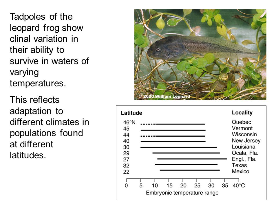 Tadpoles of the leopard frog show clinal variation in their ability to survive in waters of varying temperatures.
