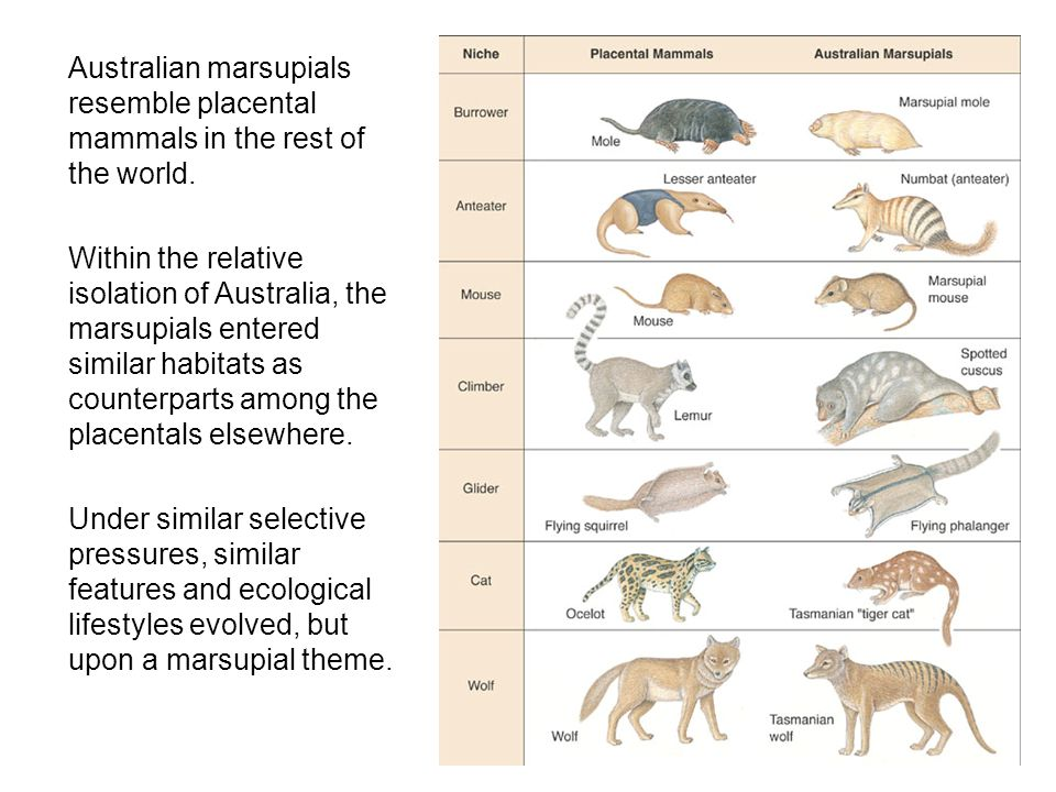  Australian marsupials resemble placental mammals in the rest of the world.