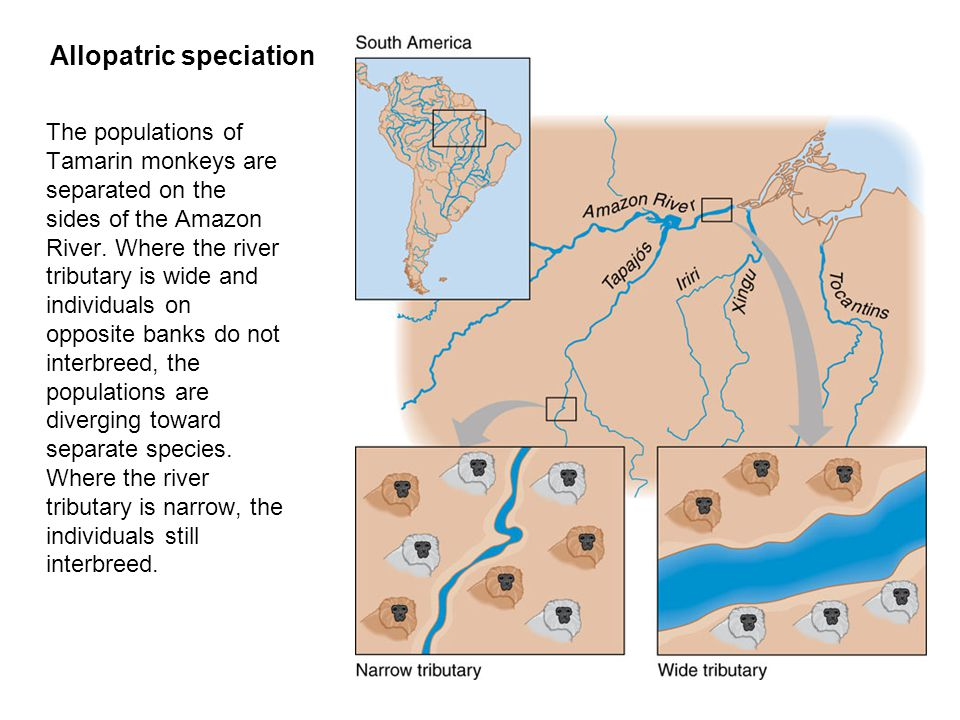 Allopatric speciation  The populations of Tamarin monkeys are separated on the sides of the Amazon River.