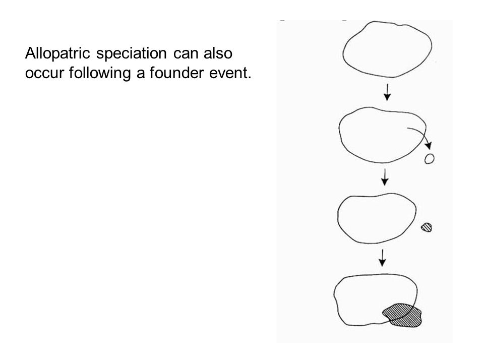 Allopatric speciation can also occur following a founder event.