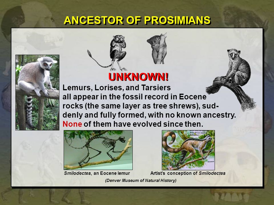 ANCESTOR OF PROSIMIANS UNKNOWN.