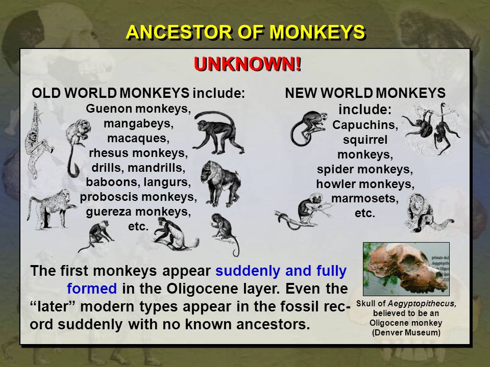 ANCESTOR OF MONKEYS UNKNOWN! OLD WORLD MONKEYS include: Guenon monkeys, mangabeys, macaques, rhesus monkeys, drills, mandrills, baboons, langurs, prob