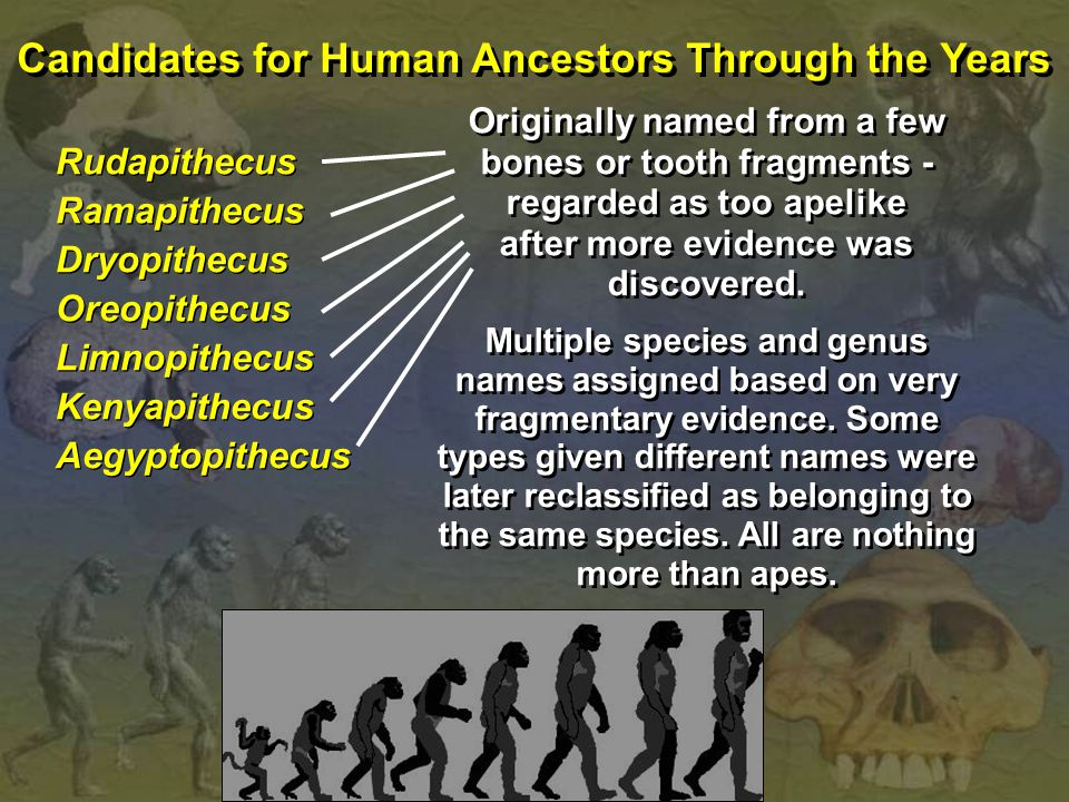 Candidates for Human Ancestors Through the Years Rudapithecus Ramapithecus Dryopithecus Oreopithecus Limnopithecus Kenyapithecus Aegyptopithecus Rudapithecus Ramapithecus Dryopithecus Oreopithecus Limnopithecus Kenyapithecus Aegyptopithecus Originally named from a few bones or tooth fragments - regarded as too apelike after more evidence was discovered.