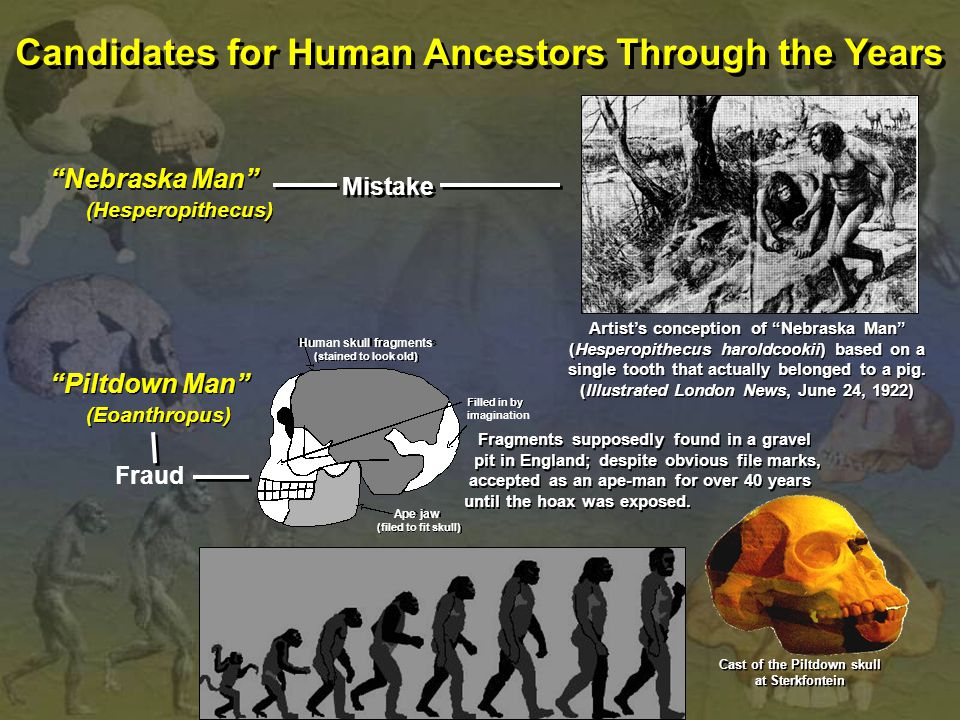Candidates for Human Ancestors Through the Years Nebraska Man (Hesperopithecus) Nebraska Man (Hesperopithecus) Mistake Fraud Artist's conception of Nebraska Man (Hesperopithecus haroldcookii) based on a single tooth that actually belonged to a pig.