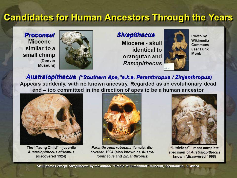 Proconsul Miocene – similar to a small chimp (Denver Museum) Sivapithecus Miocene - skull identical to orangutan and Ramapithecus Australopithecus ( Southern Ape, a.k.a.