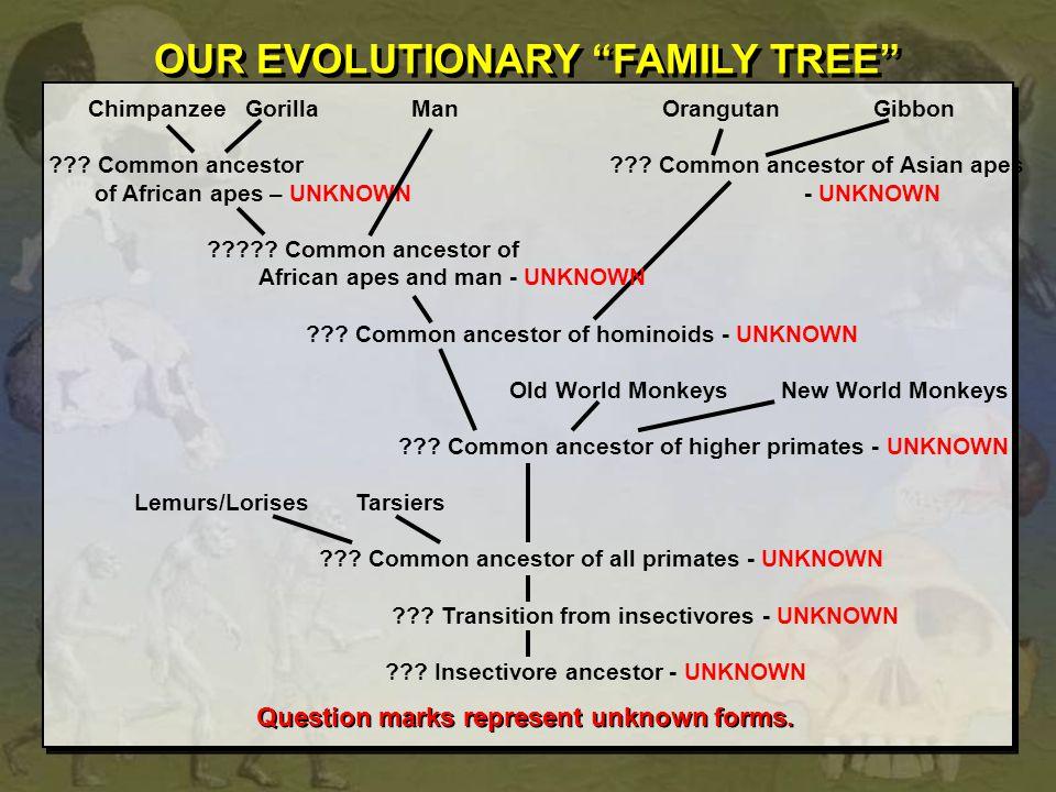 Chimpanzee Gorilla ManOrangutan Gibbon ??.Common ancestor ??.
