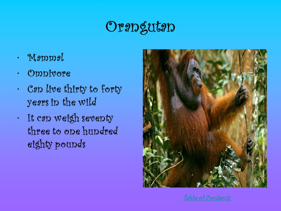 Orangutan Mammal Omnivore Can live thirty to forty years in the wild It can weigh seventy three to one hundred eighty pounds Table of Contents