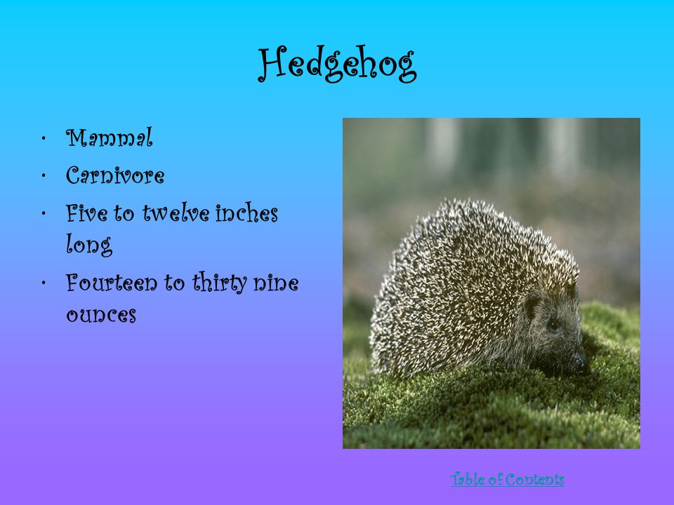 Hedgehog Mammal Carnivore Five to twelve inches long Fourteen to thirty nine ounces Table of Contents
