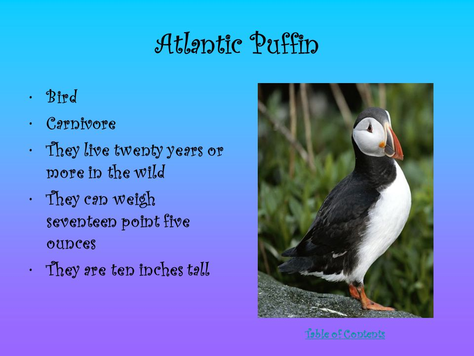 Atlantic Puffin Bird Carnivore They live twenty years or more in the wild They can weigh seventeen point five ounces They are ten inches tall Table of Contents